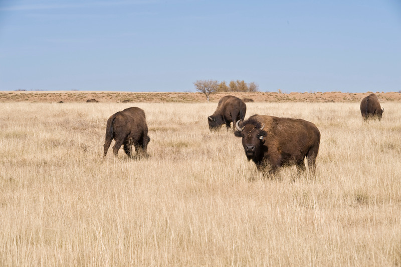 After we left Fort Union we headed for Great Sand Dunes National Park.  Along the way we happened upon a herd of Bison on someone's ranch.