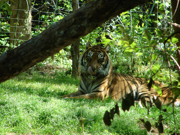 It's hard not to feel nervous when a tiger licks his chops while looking at you.