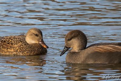 Dec 25th 2015  Morash pond Male Female Gadwall