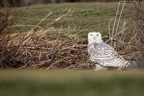 Dec 27th 2017 Snowy Owl Hartlen point