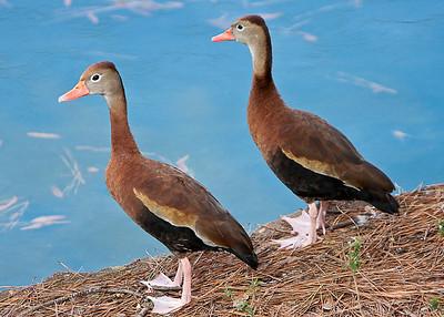 Ducks_20081226_0091