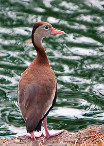 Ducks_20081226_0114