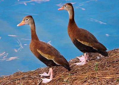 Ducks_20081226_0092