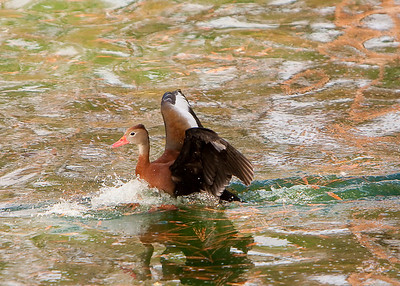 Ducks_20081226_0066