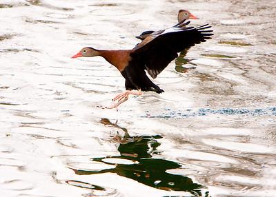 Ducks_20081226_0059