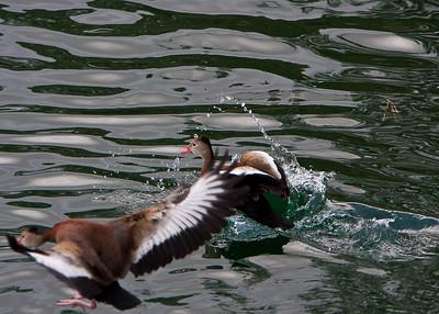 Ducks_20081226_0209