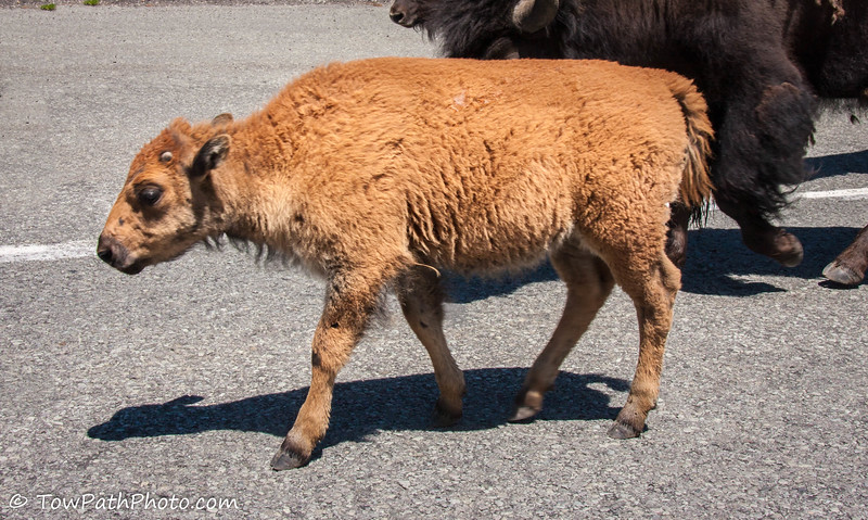 Bison (baby)