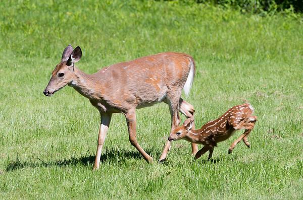 Deer 6/17/13