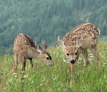 Deer, Elk, Pronghorn
