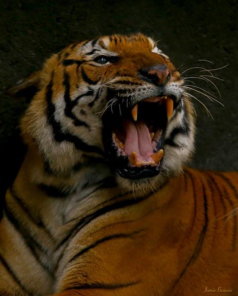 Tiger (3 of 1)