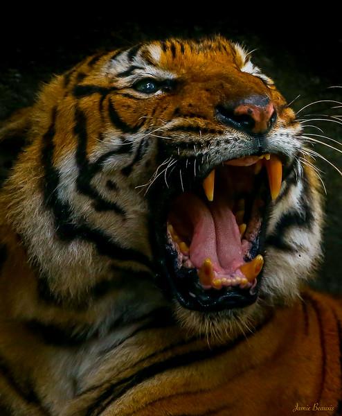 Tiger 3 (3 of 1)