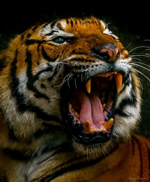 Tiger 2 (3 of 1)