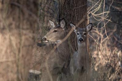 Deer Friends, Winter 2017