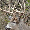10-pointer, Grant Park, South Milwaukee.  I had photographed him earlier in the year in velvet.<br /> Nov. 7, 2012