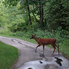 Cautiously crossing the bike path.  Fawn is behind it.<br /> July 24, 2012