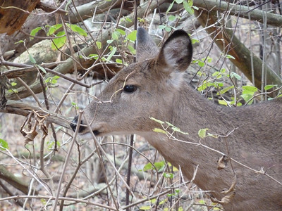 Deer Herd, Milwaukee County Parks