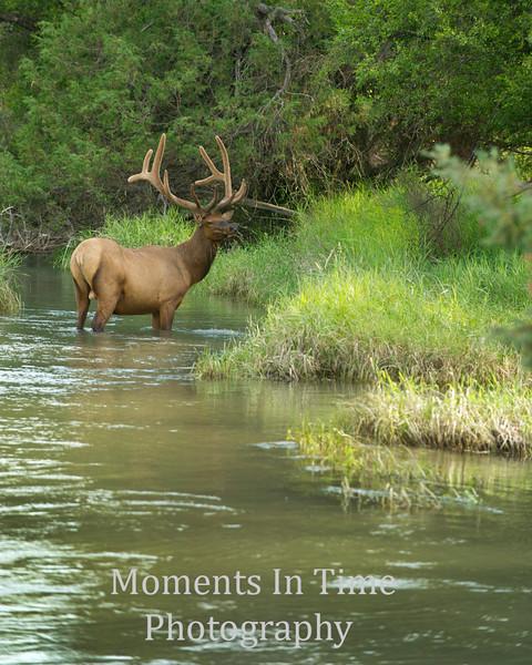 Elk bull standing in river