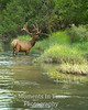 Elk bull standing in river
