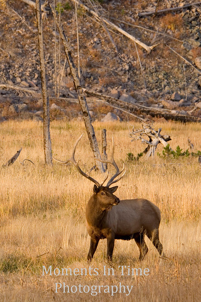 Elk scene morning light   v