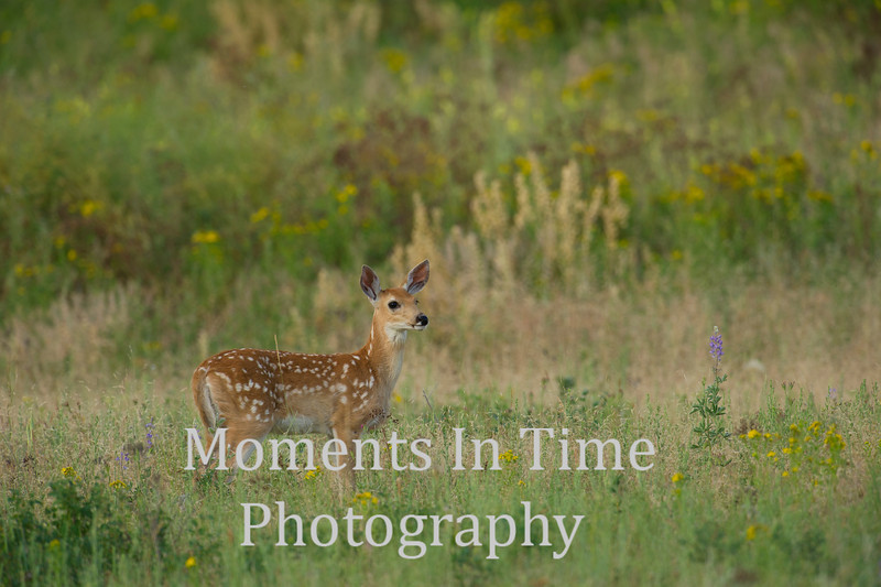 White tailed fawn standing
