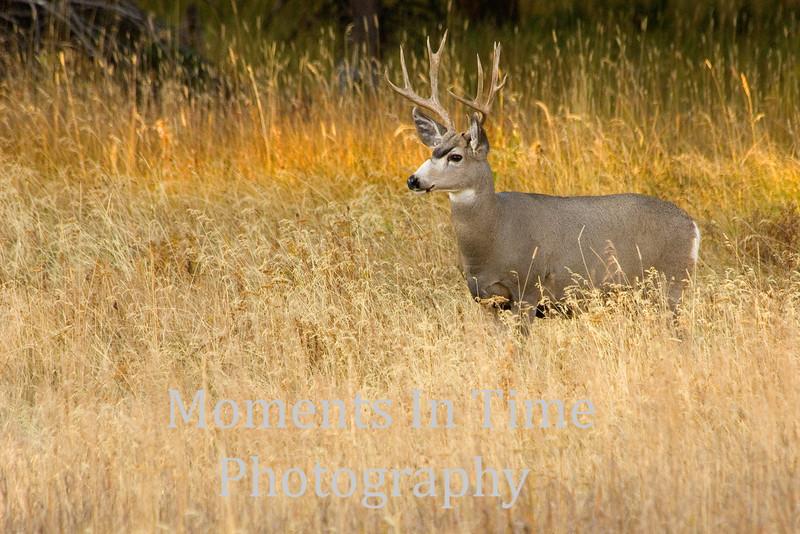 White tailed deer (Odocoileus virginianus)