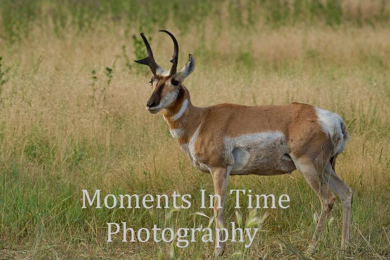 Pronghorn buck standing