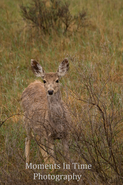 Deer in willows V