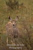 Deer in willows V