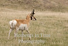 Watchful pronghorn