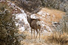 Mule deer in winter h