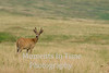 Young white tailed buck in grassland