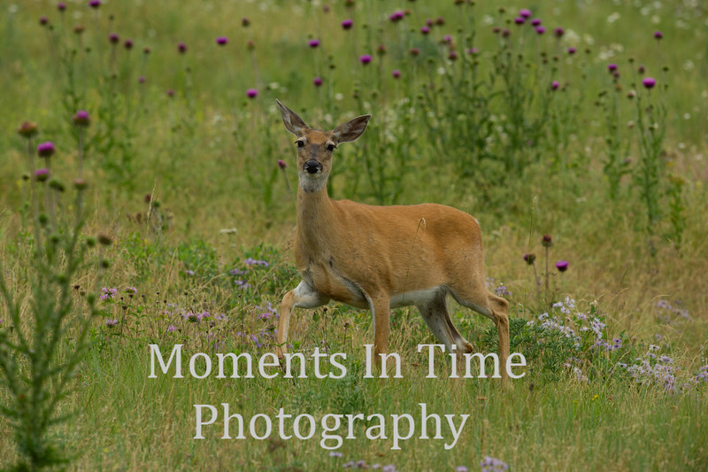 white tailed deer on the move