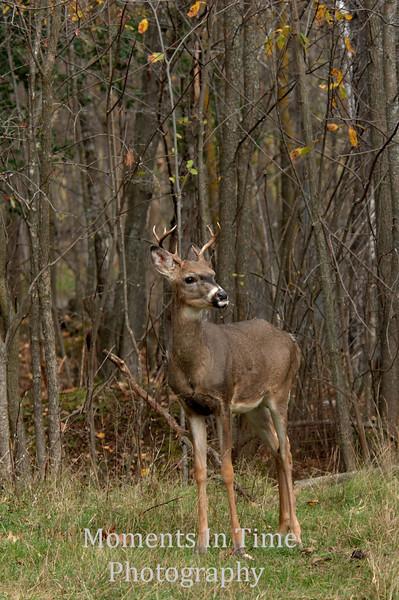 Attentive buck