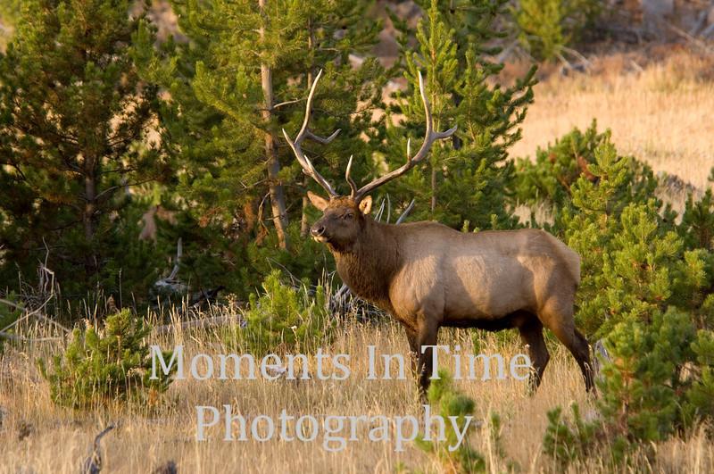 Bull elk in pine 3