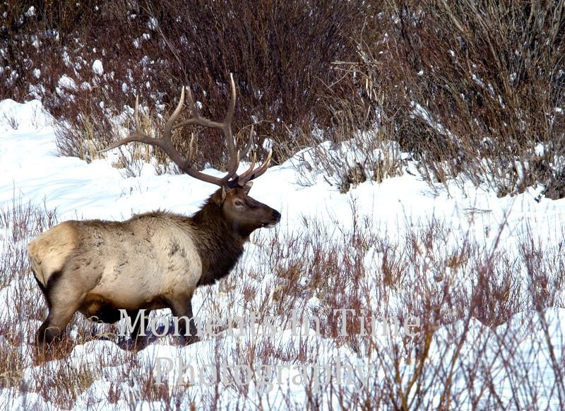Winter elk in willows