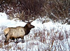 Winter elk in willows