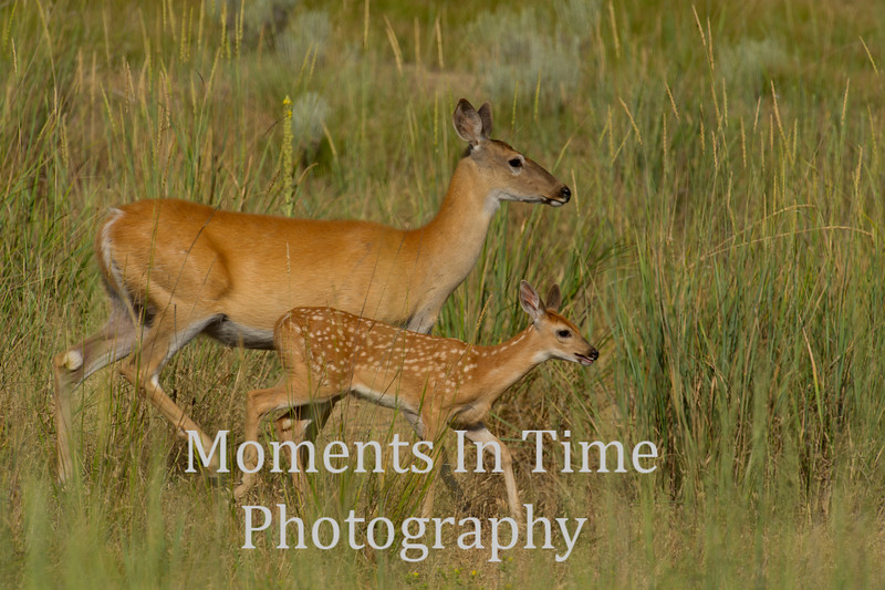 White tailed doe with fawn running