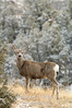 Mule deer in winter posing v