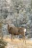 Mule deer in winter posing v