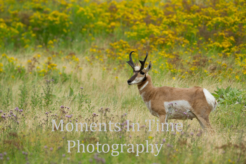 Pronghorn buck in summer grassland