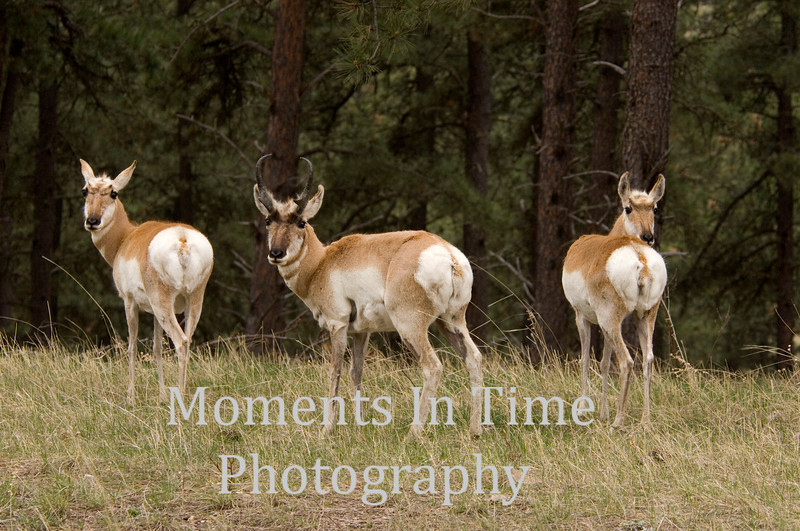 Pronghorn trio