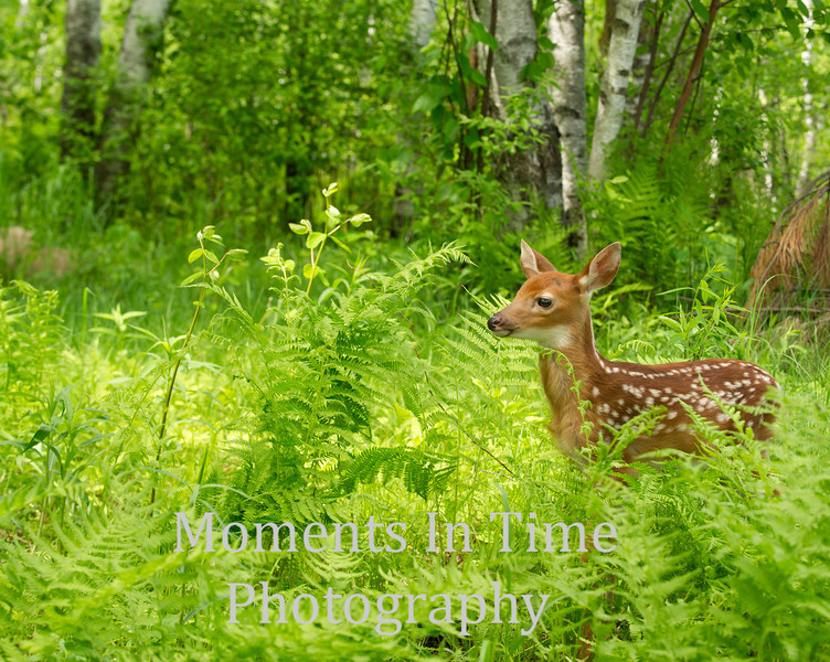 White tailed deer (Odocoileus virginianus)