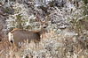 Mule deer in winter
