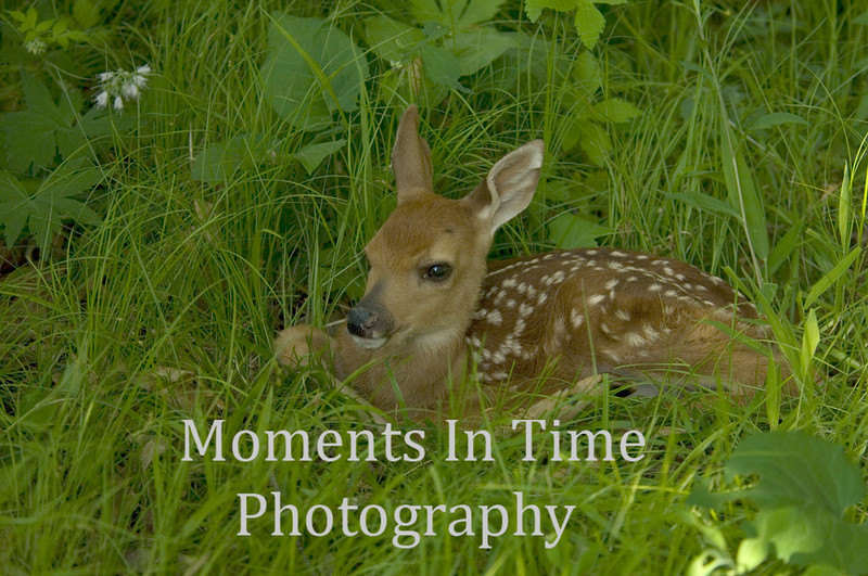 New fawn in grass