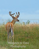 White tailed buck in grassland