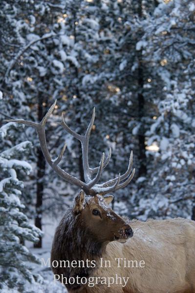 Snowy elk portrai