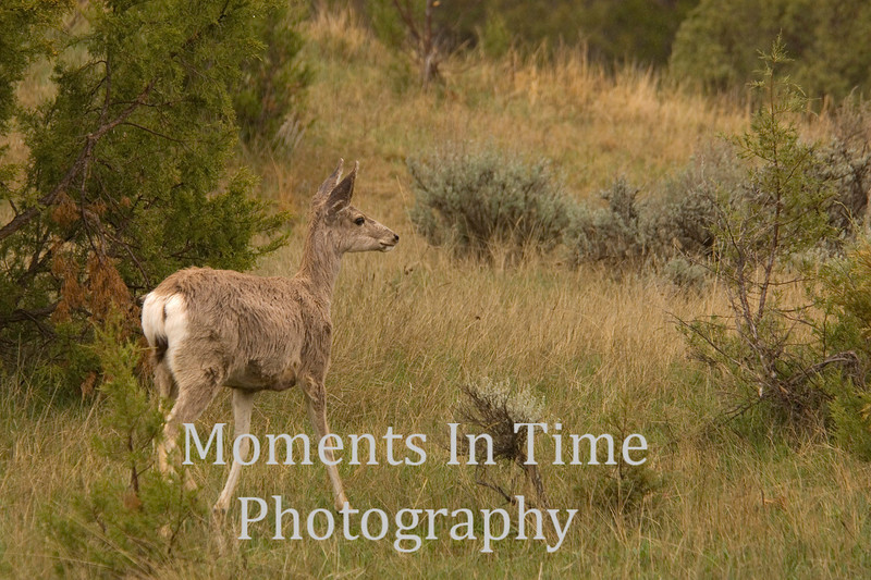 Mule deer profiled