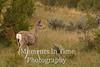 Mule deer profiled