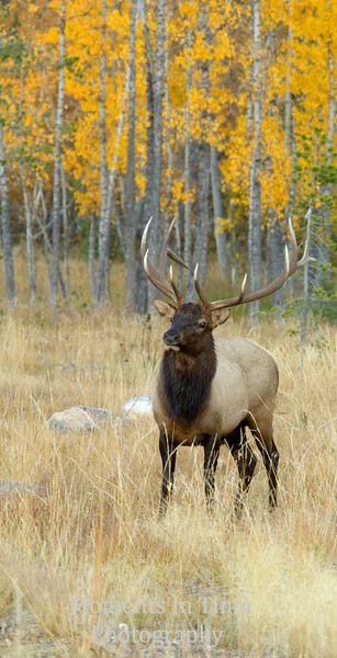 Autumn elk with color