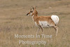 Proud pronghorn